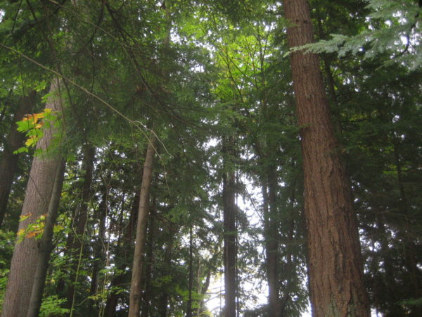A grove of trees in Stanley Park
